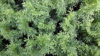Arborvitae, junipers, hydrangeas, etc., for further rearing