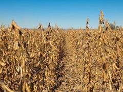 Soybeans roundup pid